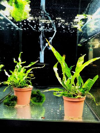 Rośliny akwariowe Żabienica, Crypyokoryna itp