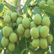 Саженцы грецкого ореха гронового плодоношения