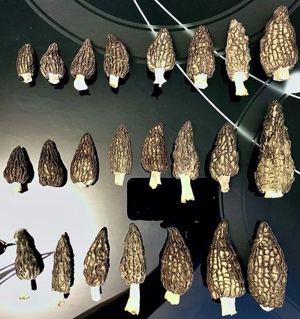 Сморчки сушені гриби Morchella conica 2020 сморчок гриб, грибы сушеные