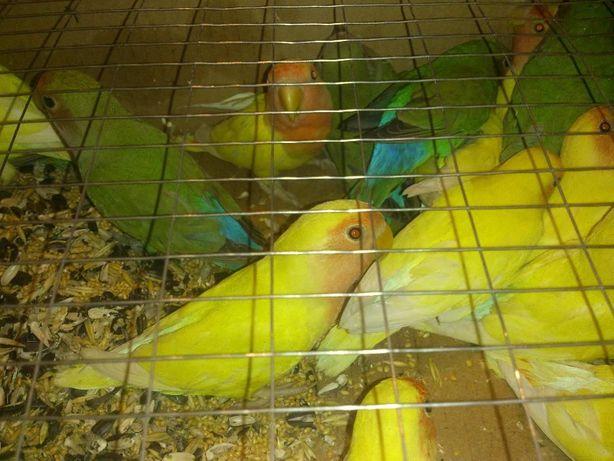 попугайчик неразлучник