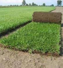 Trawnik z rolki soczysta zieleń