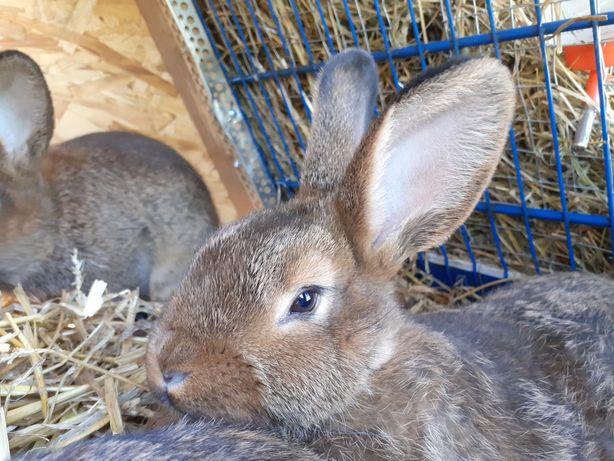 Wiedeński szary  króliki