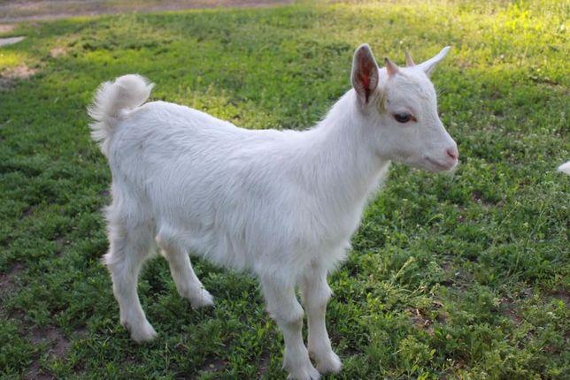Козы. Зааненские козлята и козочки 50% 75% 100%