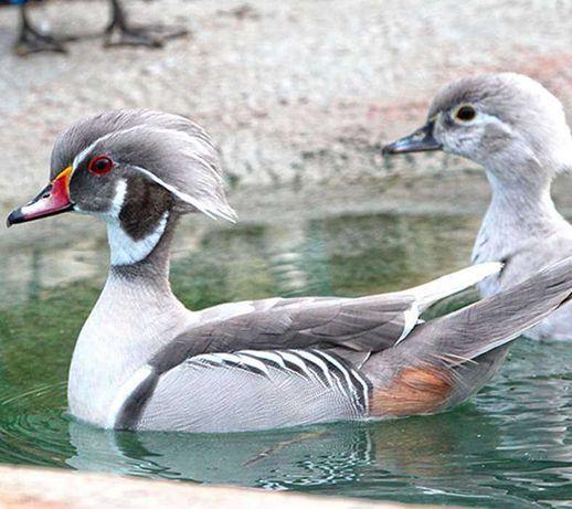 patos exóticos , perdizes da Califórnia , pavões azul novos