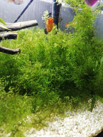 Roślina do akwarium - mech