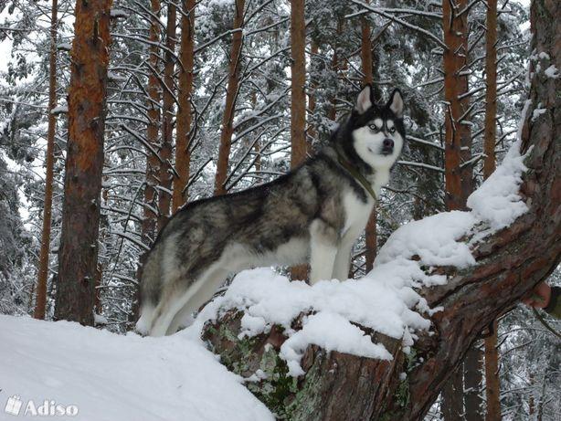 Хаски World Kennel Union (WKU)