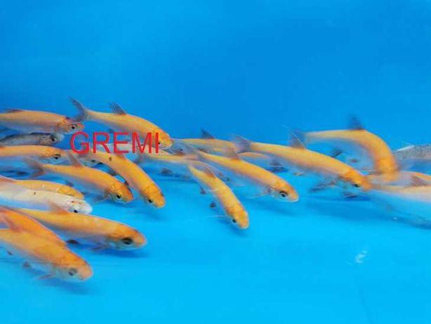 Złota orfa ,ryby do oczka wodnego , stawu ,