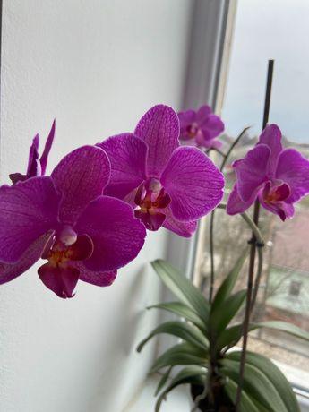 Орхидея ( детки, фуксия )
