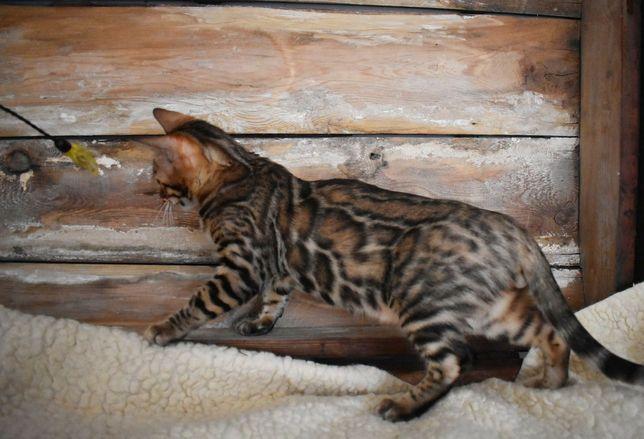 Kot bengalski,  Kocięta Bengalskie