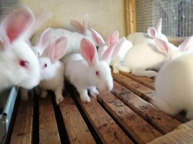 Sprzedam tuszki królicze