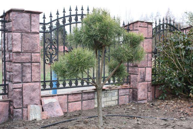 czarna sosna- bonsai