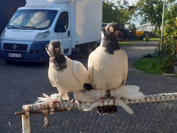 Barwnogłówka królewiecka barwnogłówki para 2019 ptaki gołębie ozdobne