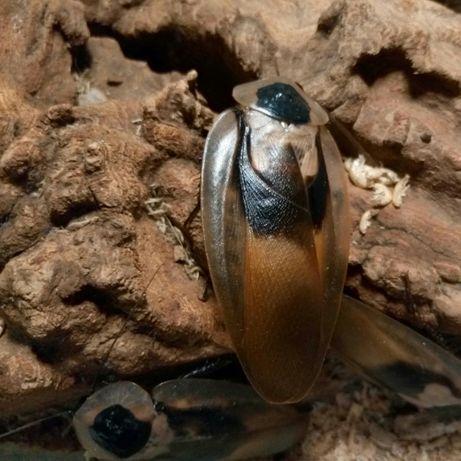 Таракан Блаберус (Blaberus craniifer)