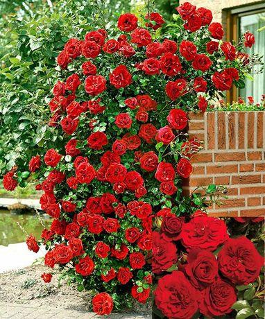 Róże okrywowe Róże pnące Róże w doniczce mix kolorów