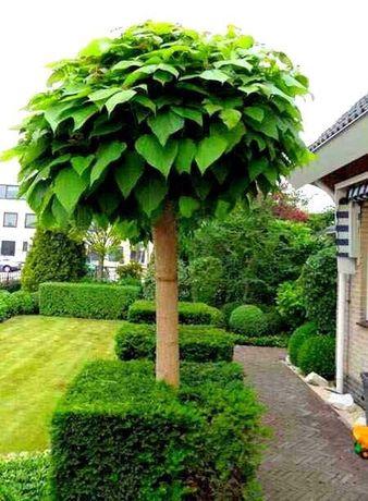 Katalpa drzewko ozdoby