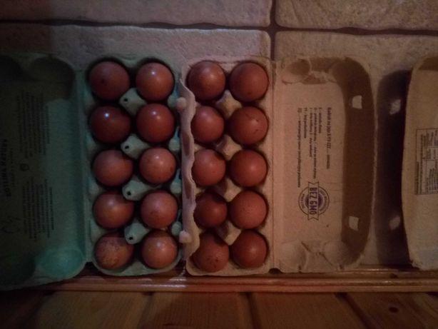 Marans marany jaja lęgowe