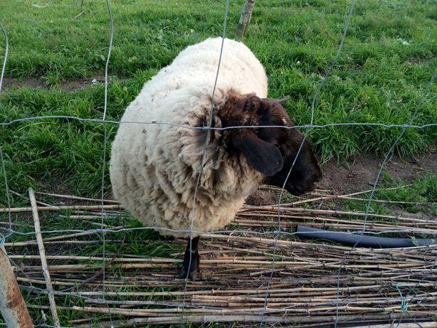 Carneiro sullfok e duas ovelhas