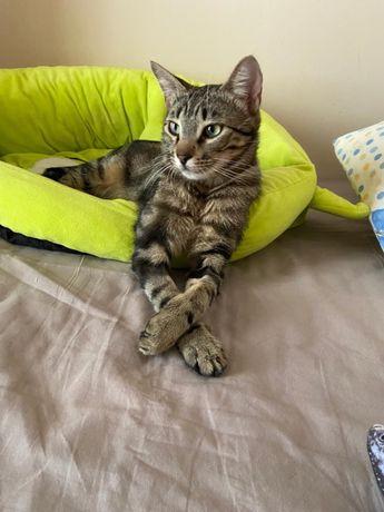 Adoção gatinho bengal