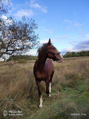 кінь,  конь, лошадь, мерин