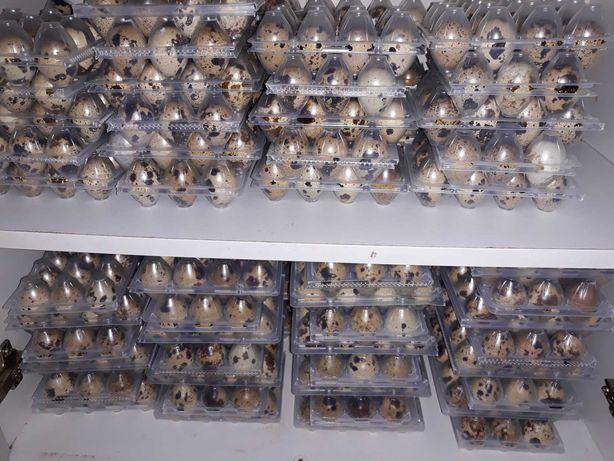 Ovos de codorniz,galinha e poedeiras para consumo ou para incubação