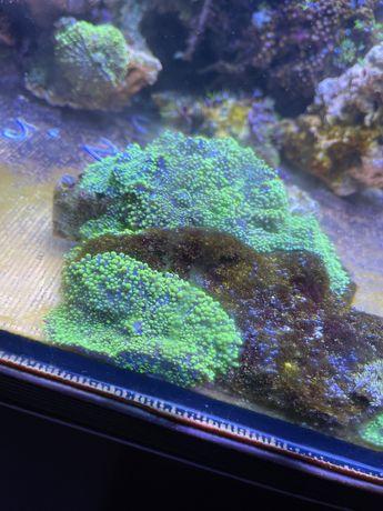 Coral Ricordea yuma green/ purple