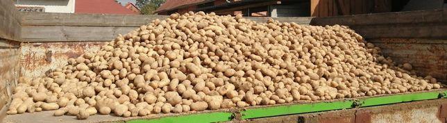 Sprzedam ziemniaki tajfun  70zl/100kg