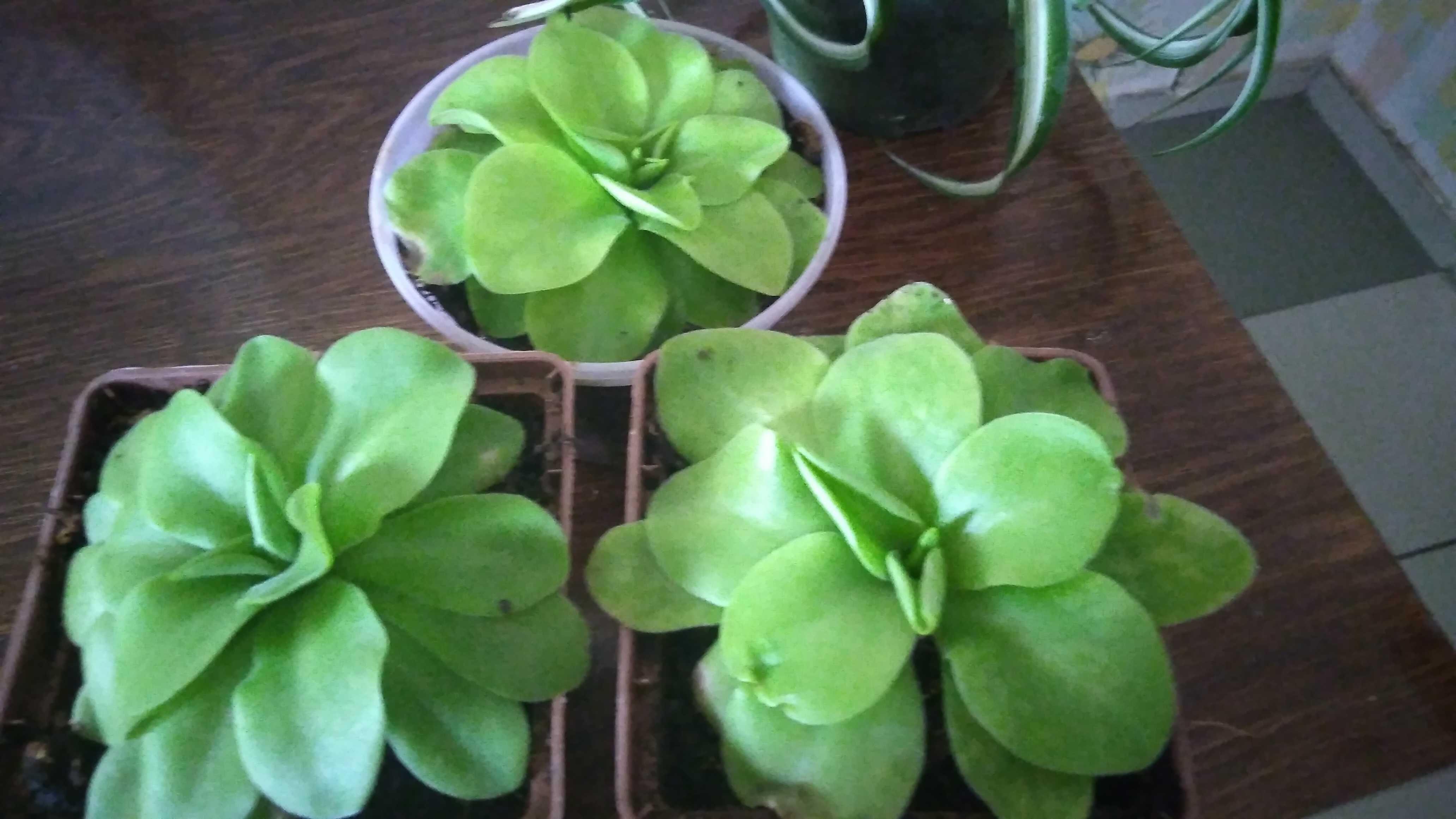 Жирянка Тина, хищное растение