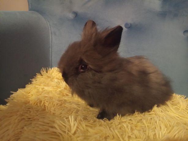 Teddy york królik angorski miniaturowy