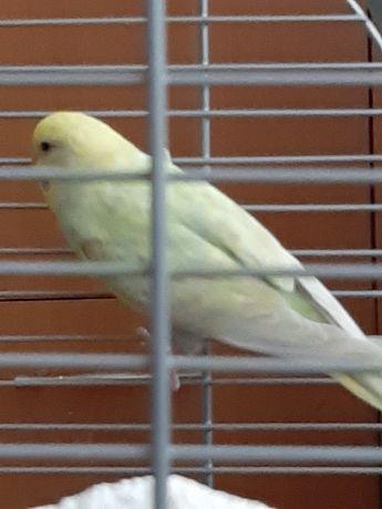 Продам самку волнистого попугая
