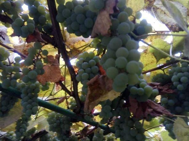 Продам вкусный виноград