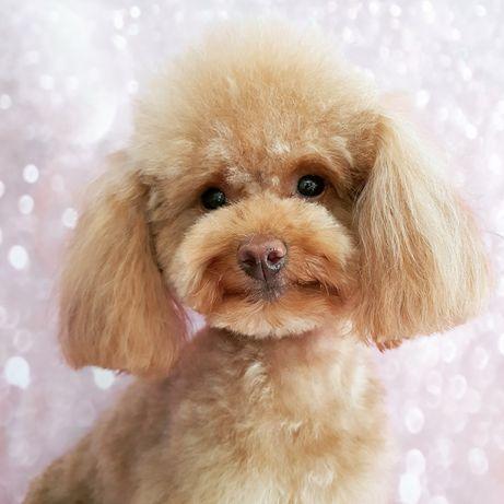 Psi Fryzjer, strzyżenie psów i kotów,Groomer, kurs groomerski