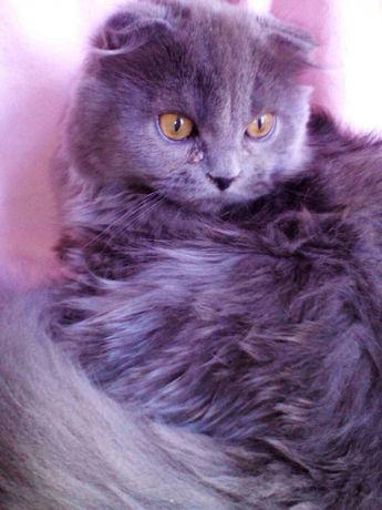 Пушистый вислоухий шотландский котёнок