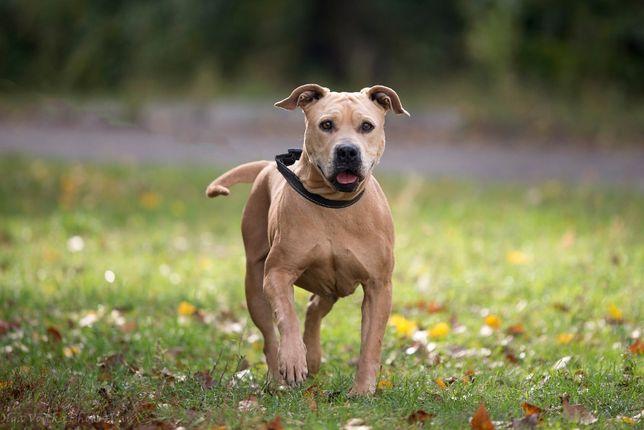 Отдам в хорошие руки собаку девочку Вейл , стаффордширский терьер.
