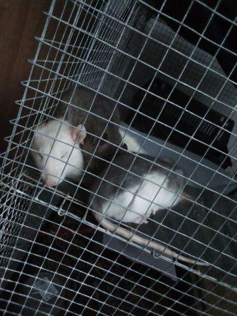 Szczurki za darmo