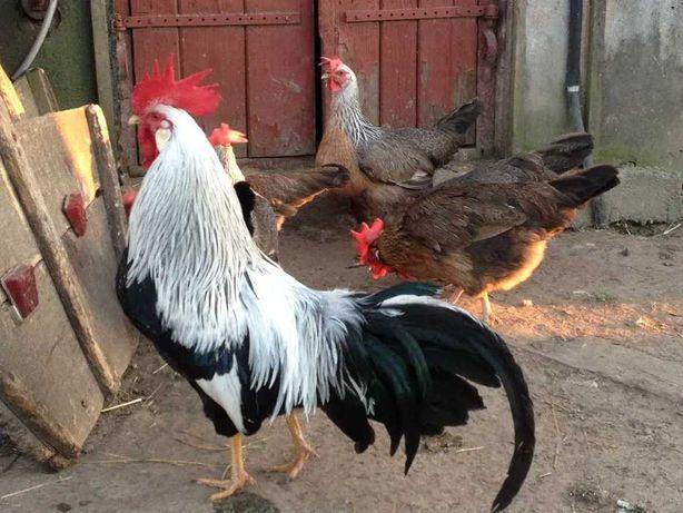 Кури Лівенська ситцева, лєгорн, леггорн, інкубаційне яйце, курчата.