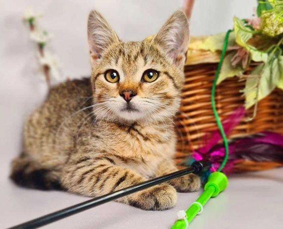 Кітті, кошенятко сіро-кремового забарвлення, дівчинка, 2 місяці