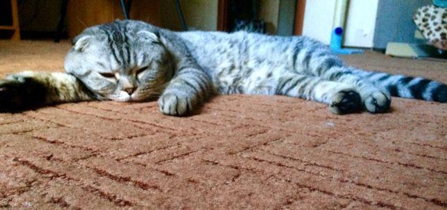 Вязка. Шотландский вислоухий кот на вязку