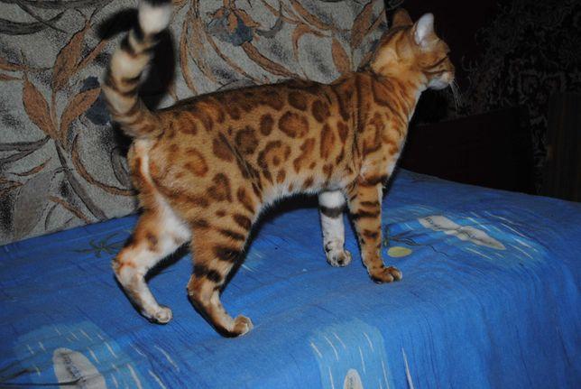 Бенгальская кошка домашняя любимица.