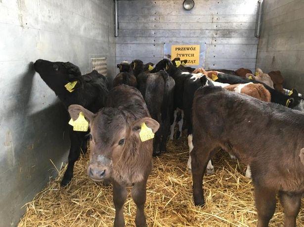 Byczki, cielęta mięsne, cieliczki, jałówki - transport GRATIS