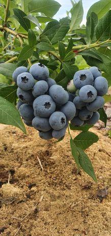 Owoce Borówka amerykańska Ekologiczne z własnej hodowli!