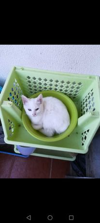 Oferece-se última gatinha branquinha!