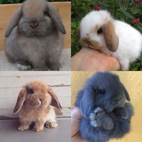 KIT completo coelhos anões orelhudos (mini Lop)