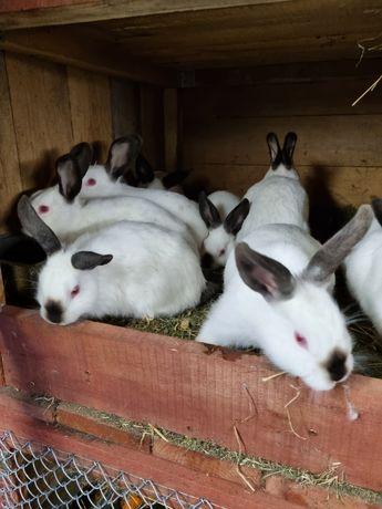 Młode króliki kalifornijskie