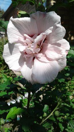 Гибискус махровый сирийский древовидный бело-розовый