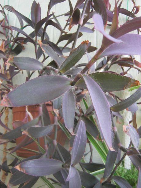 Сеткреазия пурпурная. Веточки
