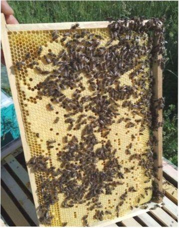Пчеломатки. Продуктивные. Принимаю заказы. Lekler. Carnica (Карника)