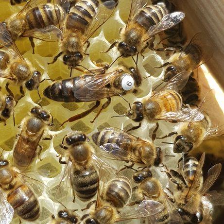 Matka pszczela  nieunasiennione pszczoły ule