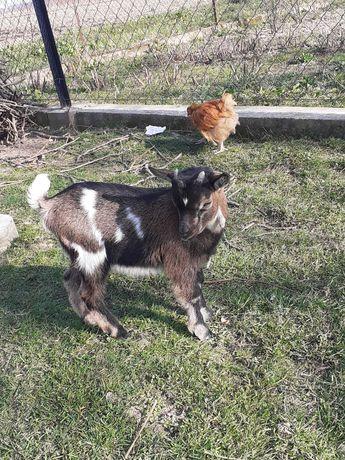 Kozy miniaturki, koziołki
