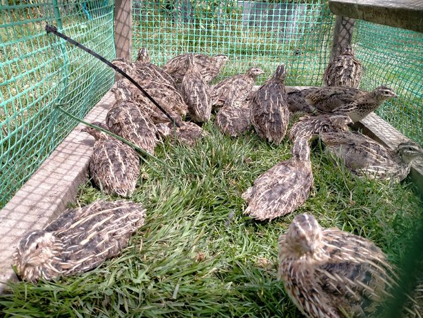 Przepiórki koguty