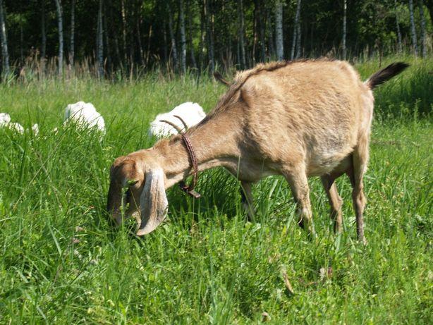 Англонубийские козлята,заано-нубийские, камерунские козочки и козлята